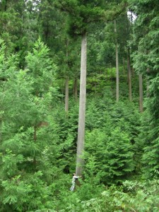 「木の家」づくりは、伐採から?
